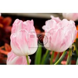 Fototapeta colorful tulips flower blooming in floral garden